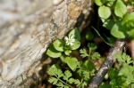 HSNP Goat Rock Trail Chickweed