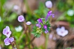 HSNP Hot Springs Mt Trail Henbit and Spring Beauty