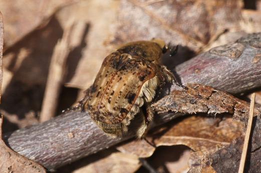 HSNP Upper Dogwood Trail Bumble Flower Beetle