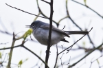 HSNP Goat Rock Trail Blue-Gray Gnatcatcher