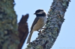 HSNP Goat Rock Trail Chickadee