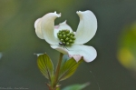 HSNP Hot Springs Mt Road Dogwood Blossom
