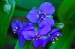HSNP Hot Springs Mt Road  Spiderwort