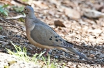 HSNP Hot Springs Mt Trail Mourning Dove