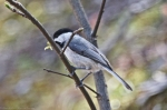 HSNP Upper Dogwood Trail Nesting Carolina Chickadee