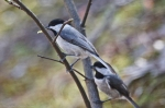 HSNP Upper Dogwood Trail Nesting Pair Carolina Chickadees