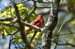 HSNP Hot Springs Mt Trail Male Summer Tanager