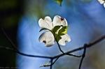 HSNP Upper Dogwood Trail Dogwood Blossom