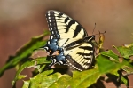 HSNP Upper Dogwood Trail Female Eastern Tiger Swallowtail Butterfly