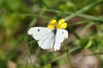 HSNP Goat Rock Trail Cabbage White on Yellow Oxalis