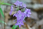 HSNP Floral Trail Smooth Phlox