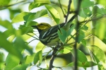 HSNP Goat Rock Trail Black-Throated Green Warbler