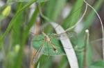 HSNP Goat Rock Trail Cranefly
