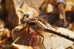 HSNP Goat Rock Trail Dragonfly