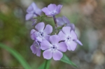 HSNP Gulpha Gorge Trail Smooth Phlox