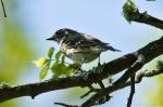 HSNP Upper Dogwood Trail  Myrtle Warbler - Yellow-Rumped Warbler