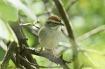 HSNP North Mt Loop Chipping Sparrow