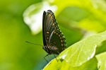 HSNP Goat Rock Trail Red Spotted Purple Butterfly
