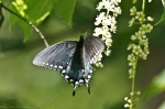 HSNP Hot Springs Mt Trail Spicebush Swallowtail Butterfly