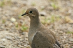 HSNP Goat Rock Trail Mourning Dove