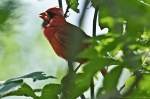HSNP Goat Rock Trail Male Cardinal