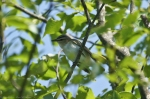 HSNP Goat Rock Trail Red-Eyed Vireo