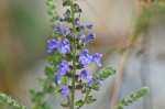 HSNP Skullcap (Scutellaria species.)