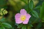 HSNP Wild Rose