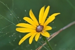 HSNP Black-Eyed Susan