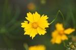 HSNP Lance Leaf Coreopsis