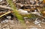 HSNP Prairie Racerunner Lizard