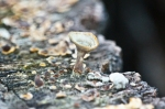 HSNP Chalis Nest Fungus