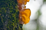 HSNP Amber Jelly Fungi on Tree Moss