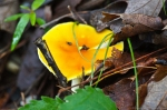 HSNP Gilled Fungus Yellow