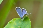 HSNP Eastern Tailed Blue Butterfly