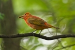 HSNP Male Juvenile Summer Tanager