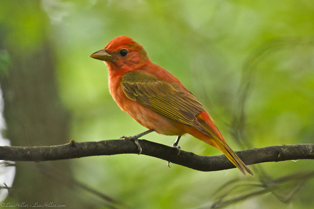 Juvenile summer tanager - photo#15