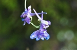 HSNP Carolina Larkspur