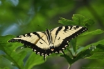 HSNP eastern Tiger Swallowtail Butterfly