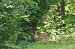 HSNP Whitetail Deer Fawn