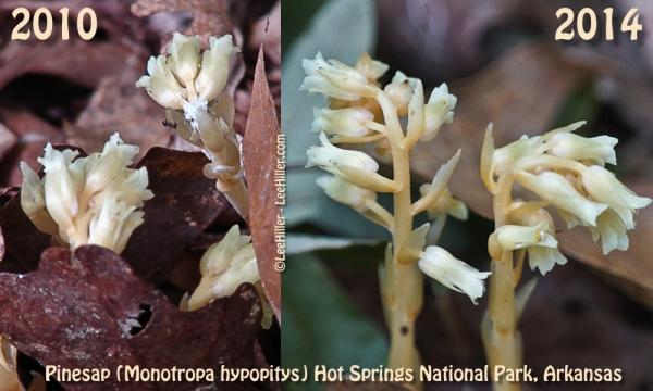 HSNP Pinesap (Monotropa hypopitys)