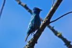 HSNP Indigo Bunting Bird