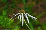 Cone Flower Cedar Glades Park, Arkansas