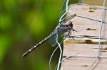 Dragonfly Cedar Glades Park, Arkansas
