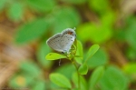 Eastern Tailed Blue Butterfly  Cedar Glades Park, Arkansas