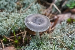 Gray Fungus Cedar Glades Park, Arkansas