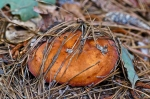 Orange Fungus Cedar Glades Park, Arkansas