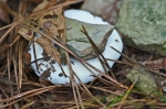 white Fungus Cedar Glades Park, Arkansas