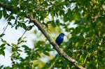 HSNP North Mt Indigo Bunting