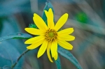 HSNP North Mt Woodland Sunflower